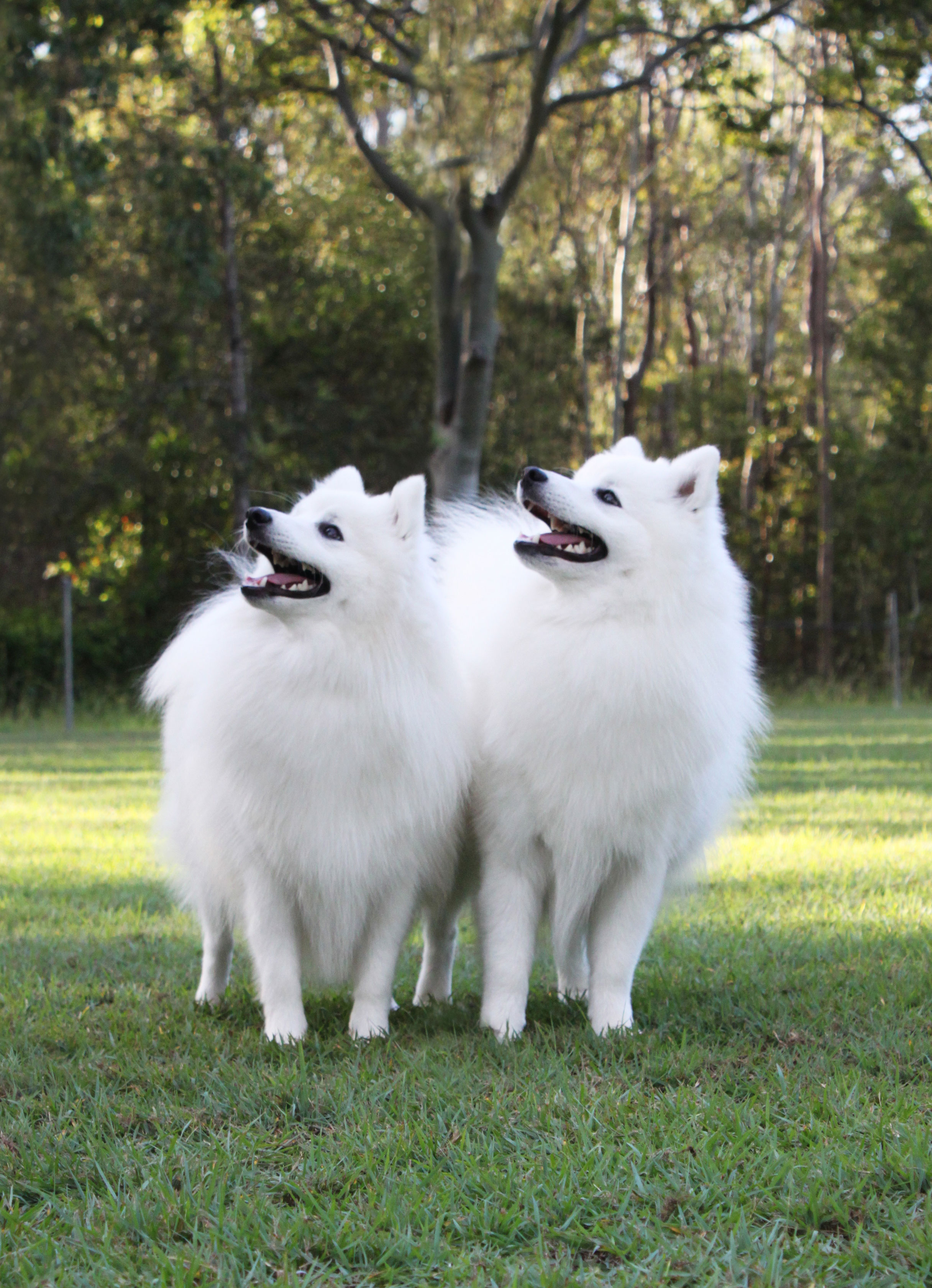 Azlan-and-Portia-Caring-For-Your-Japanese-Spitz