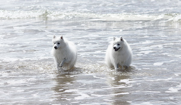 Azlan-and-Portia-beach-japanese-spitz