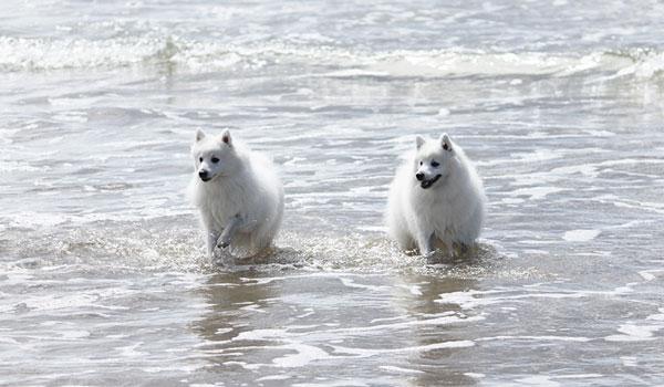 Azlan-and-Portia-beach-japanese-spitz