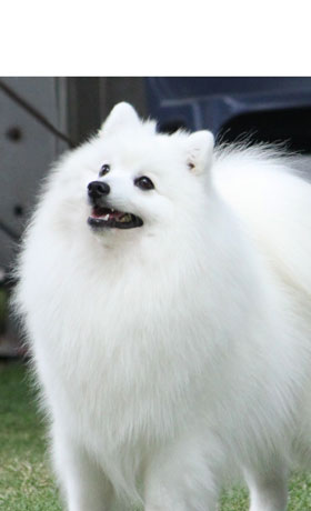 Caring-For-Your-Japanese-Spitz