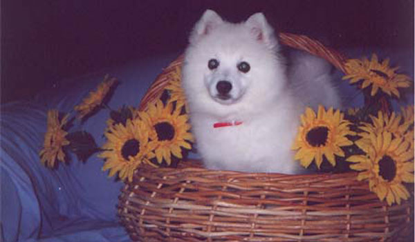 Chanel-In-Basket-japanese-spitz