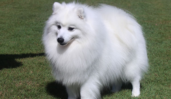 About The Japanese Spitz 187 Shanspitz Japanese Spitz