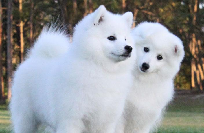 Spitz Dogs In Australia