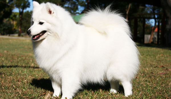 Paris-1-Japanese-Spitz