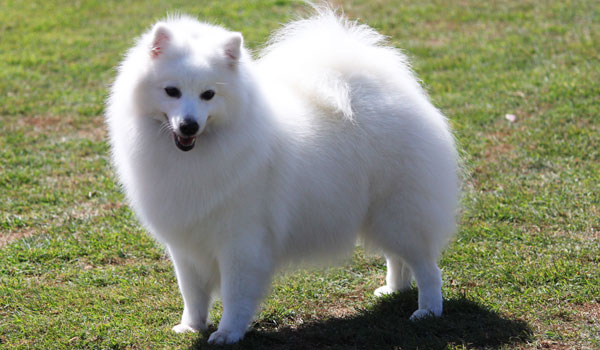 Paris-2-Japanese-Spitz