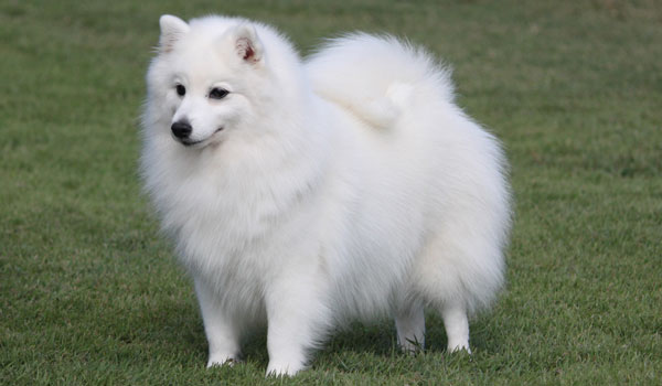 Paris-5-Japanese-Spitz