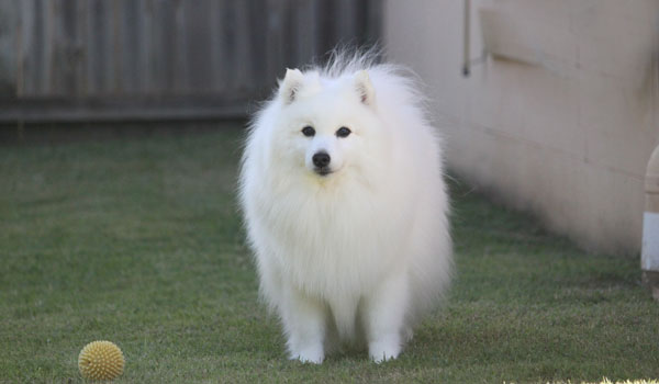 Paris-9yrs-olf-japanese-spitz