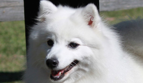 Paris-Head-Shot-2-japanese-spitz