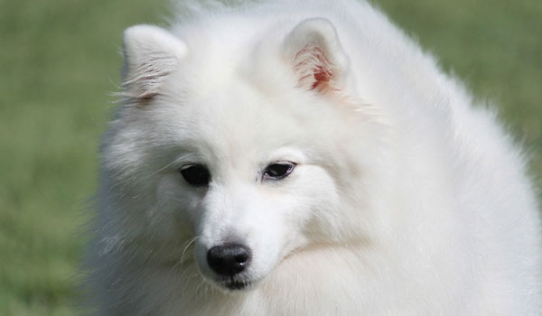 Paris-headshot-japanese-spitz