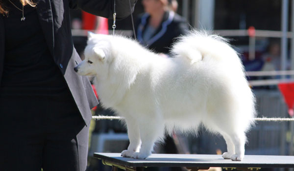Paris-on-Table-japanese-spitz