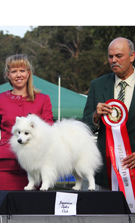 Showing-Your-Japanese-Spitz